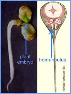 A photo of a germinating plant seed showing the embryo and a diagram of a homunculus inside a spermatozoan.